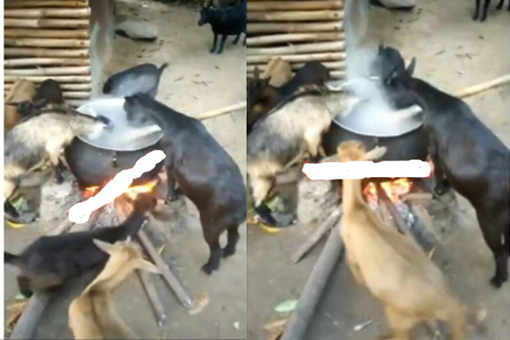 These goats are cultists – Goats eating food from the fire
